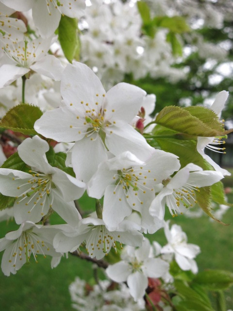 GW明けの軽井沢*桜と新緑の競演♡_f0236260_15111767.jpg