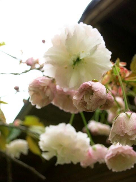 GW明けの軽井沢*桜と新緑の競演♡_f0236260_19551641.jpg