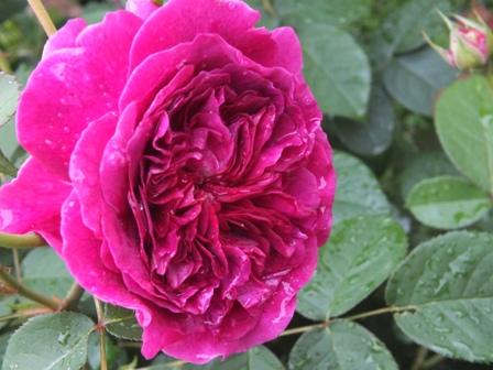 バラの季節_b0214473_220099.jpg