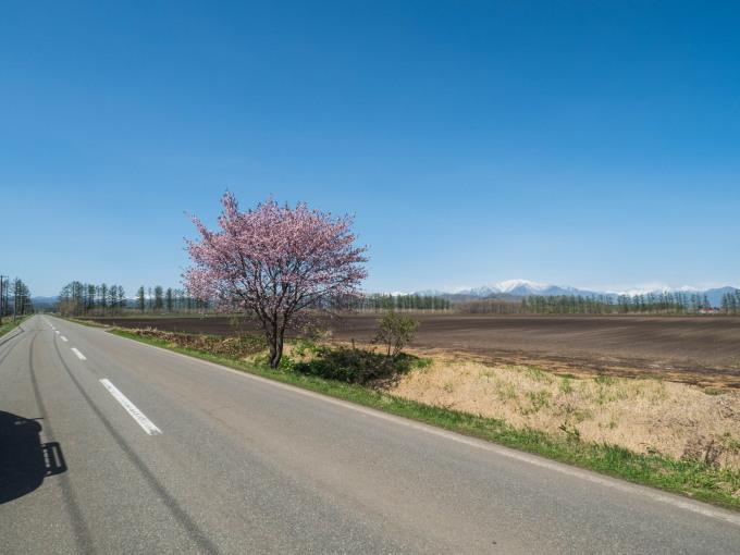 「村道沿いの一本桜」と「桜六花公園」村の桜が見頃です!_f0276498_16083892.jpg