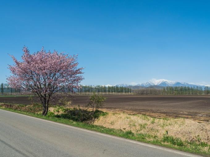 「村道沿いの一本桜」と「桜六花公園」村の桜が見頃です!_f0276498_16092667.jpg