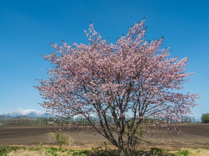 「村道沿いの一本桜」と「桜六花公園」村の桜が見頃です!_f0276498_16101235.jpg