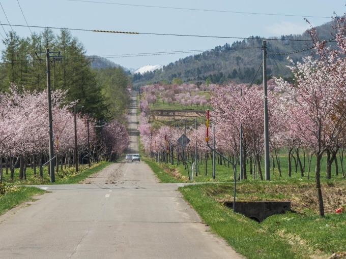 「村道沿いの一本桜」と「桜六花公園」村の桜が見頃です!_f0276498_16113409.jpg