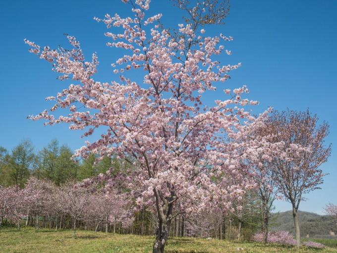 「村道沿いの一本桜」と「桜六花公園」村の桜が見頃です!_f0276498_16121759.jpg