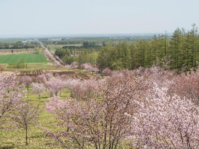 「村道沿いの一本桜」と「桜六花公園」村の桜が見頃です!_f0276498_16134263.jpg