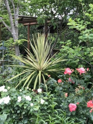 お客様のお庭散策・・・お庭を作られて6年、薔薇を始められて3年・・_b0137969_01541083.jpg