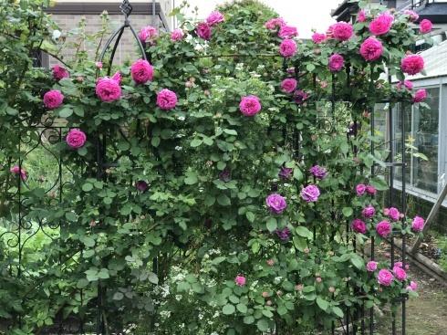 お客様のお庭散策・・・お庭を作られて6年、薔薇を始められて3年・・_b0137969_01545984.jpg
