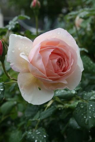 最初の花は雨の中_c0248269_09183885.jpg