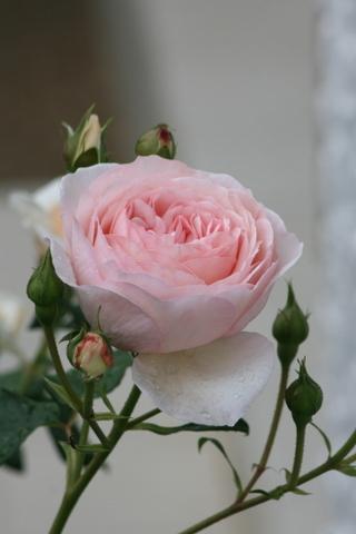最初の花は雨の中_c0248269_09191534.jpg