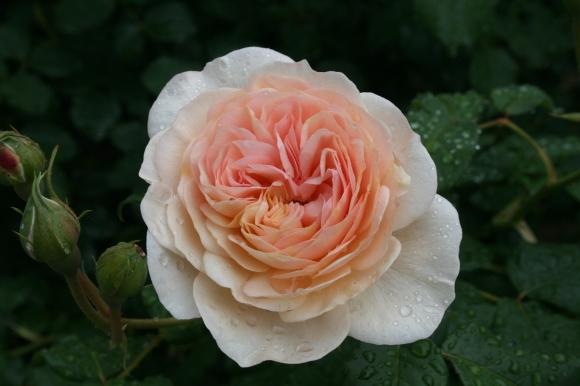 最初の花は雨の中_c0248269_09210079.jpg