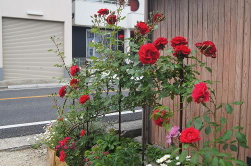 ソラナム・ラントネッティ満開_e0181373_20083240.jpg