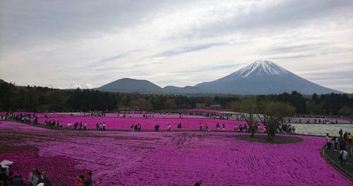 富士芝桜祭りへ行って来ました!_f0373339_1664567.jpg