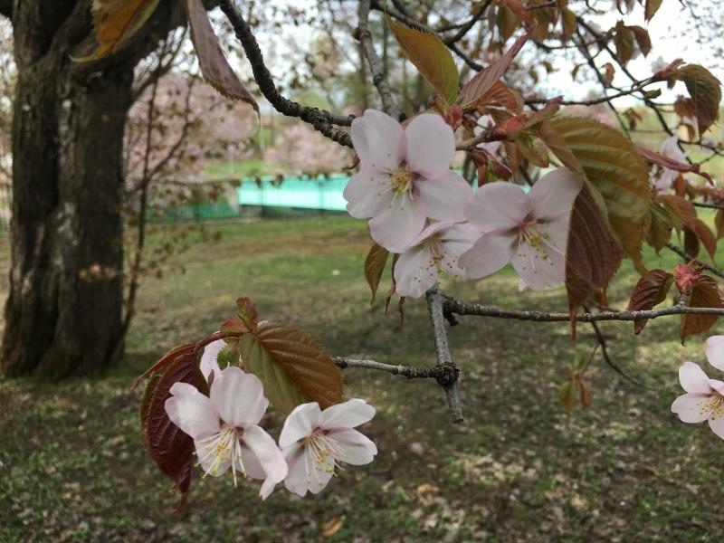 「聖台ダム」の桜と美瑛の庭_e0326953_16452336.jpg