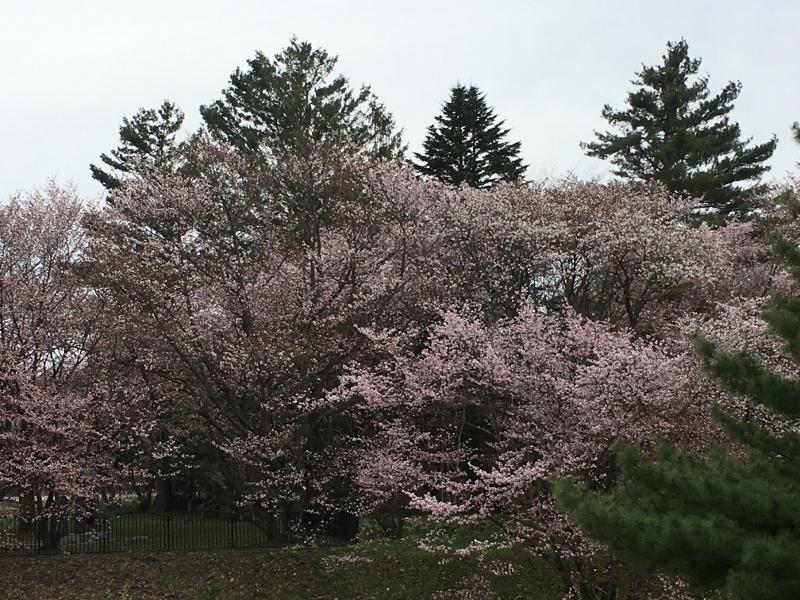 「聖台ダム」の桜と美瑛の庭_e0326953_16453068.jpg