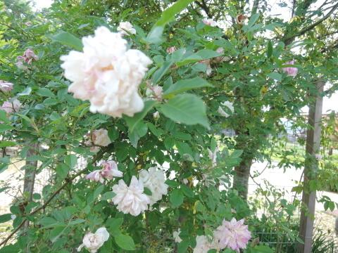 次に咲くのは_e0099359_15544428.jpg