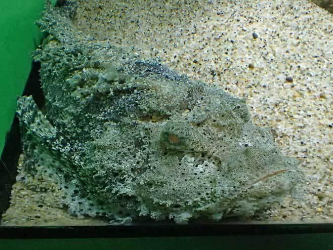サンシャイン水族館「もうどく展2」~毒を利活用する生物~_b0355317_22065442.jpg