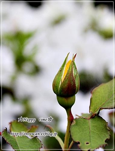 ありもの仕様でお弁当と薔薇のつぼみ♪_f0348032_18310769.jpg