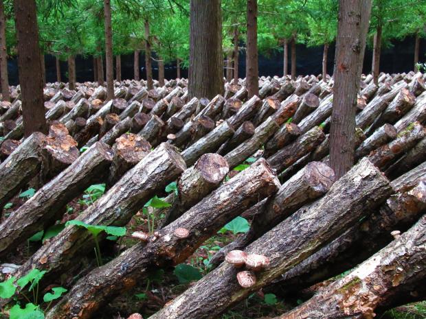 原木しいたけの植菌&収穫なのだ!_c0259934_15094847.jpg