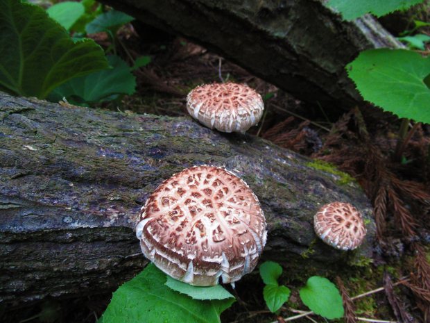 原木しいたけの植菌&収穫なのだ!_c0259934_15103818.jpg