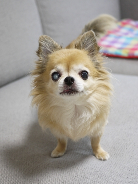 犬のお留守番 ルルちゃん編。_a0143140_20151977.jpg