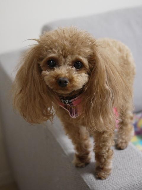 犬のお留守番 ララちゃん編。_a0143140_20345226.jpg