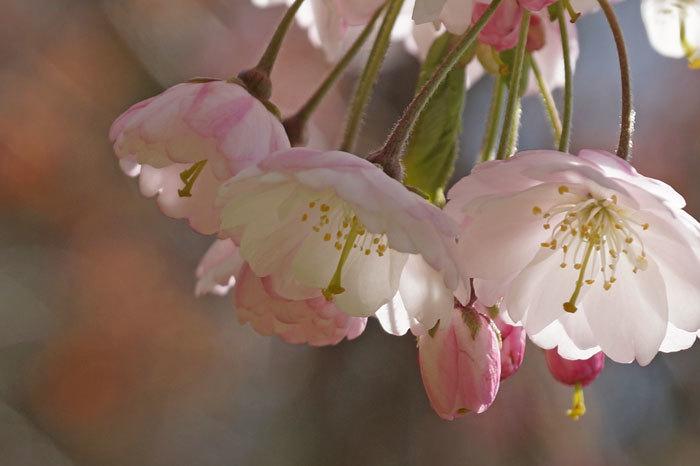 枝垂れ桜_d0162994_09040619.jpg