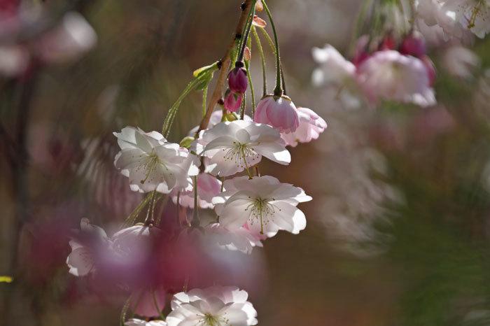 枝垂れ桜_d0162994_09042510.jpg