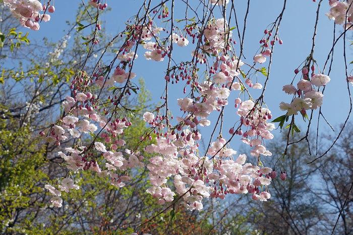 枝垂れ桜_d0162994_09045611.jpg
