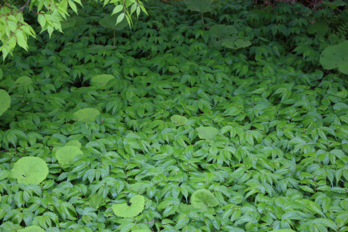 アトリエの群生している食べる野草_e0054299_15593190.jpg