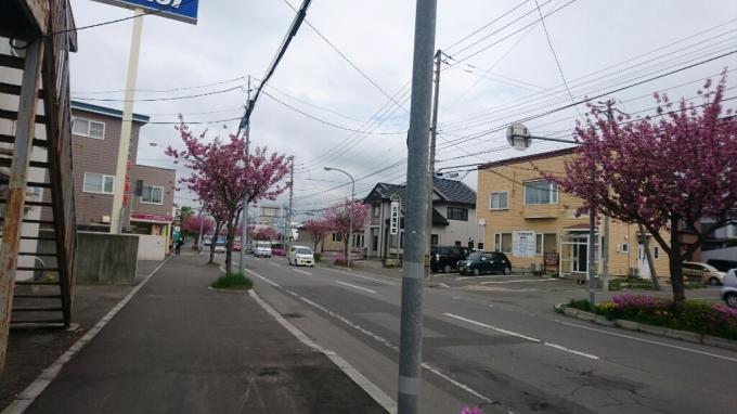 函館学園通りの八重桜、満開_b0106766_17224793.jpg