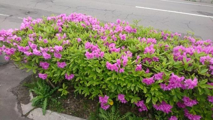 函館学園通りの八重桜、満開_b0106766_17224911.jpg