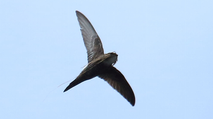 日本海の離島の鳥達その7_f0105570_13151077.jpg
