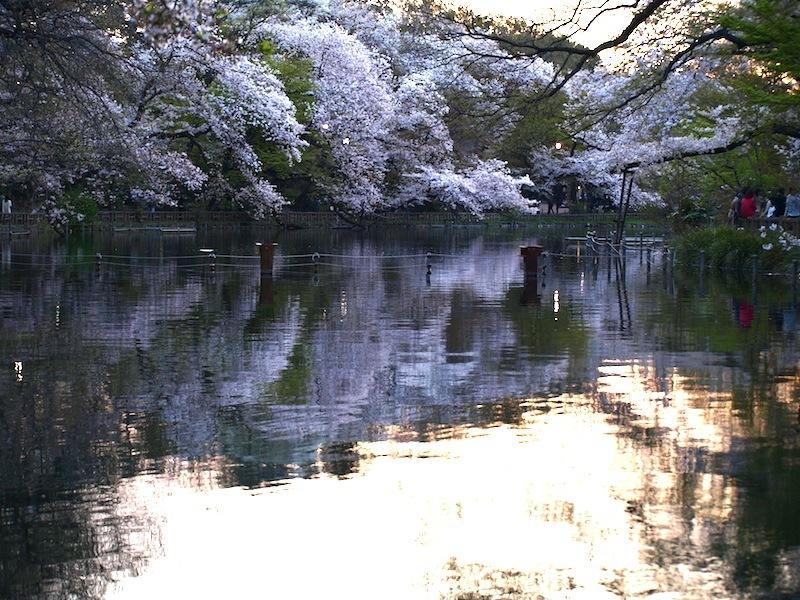 Tokyo Travel Guide Kichijoji Sightseeing 100 -001 Inokashira Park (pond forest cherry blossoms)_e0122680_16152831.jpg
