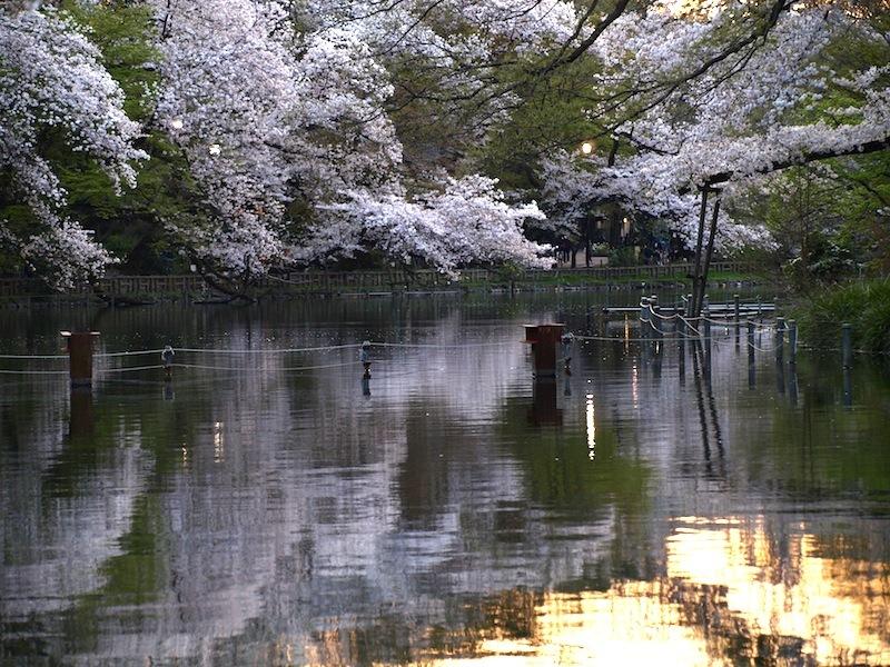 Tokyo Travel Guide Kichijoji Sightseeing 100 -001 Inokashira Park (pond forest cherry blossoms)_e0122680_16162917.jpg