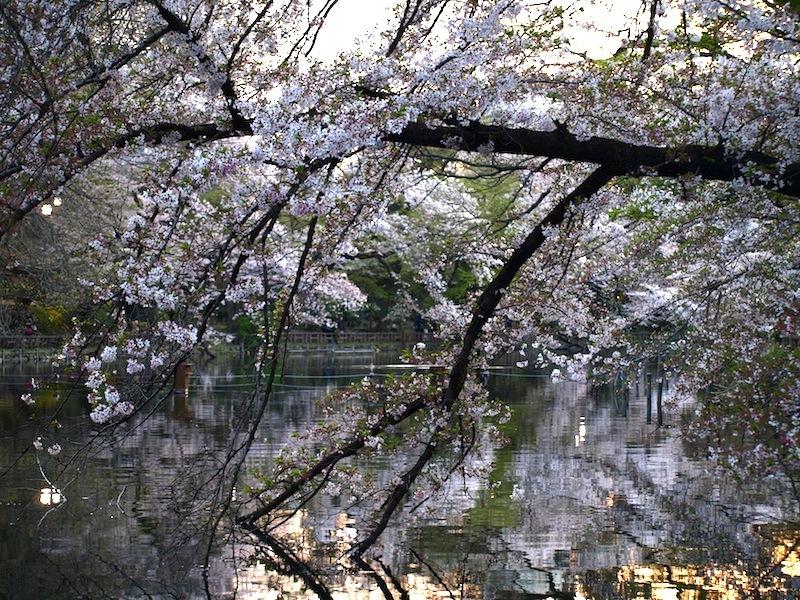Tokyo Travel Guide Kichijoji Sightseeing 100 -001 Inokashira Park (pond forest cherry blossoms)_e0122680_16170019.jpg