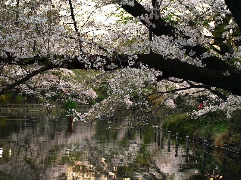 Tokyo Travel Guide Kichijoji Sightseeing 100 -001 Inokashira Park (pond forest cherry blossoms)_e0122680_16173088.jpg