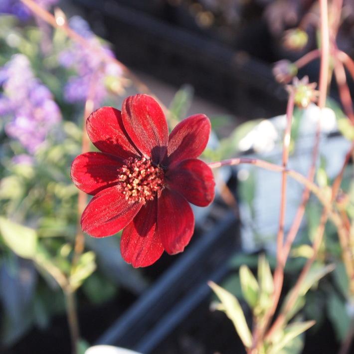 夏用の寄せ植え向きのお花①_a0292194_21313542.jpg