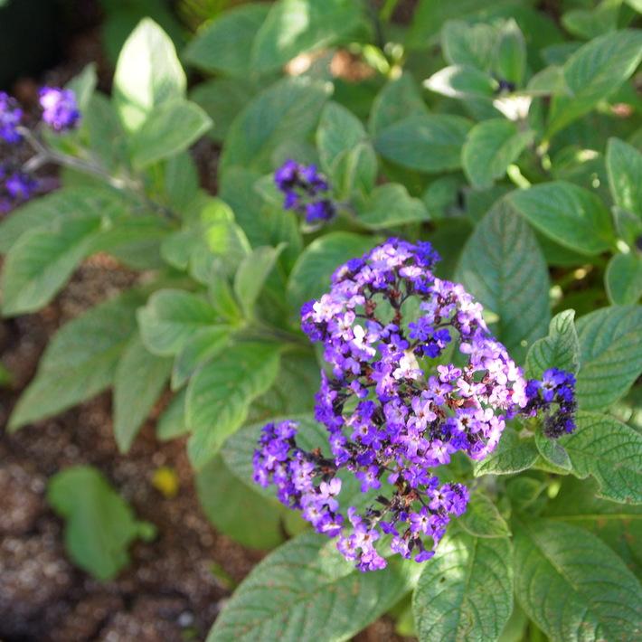 夏用の寄せ植え向きのお花①_a0292194_2146151.jpg