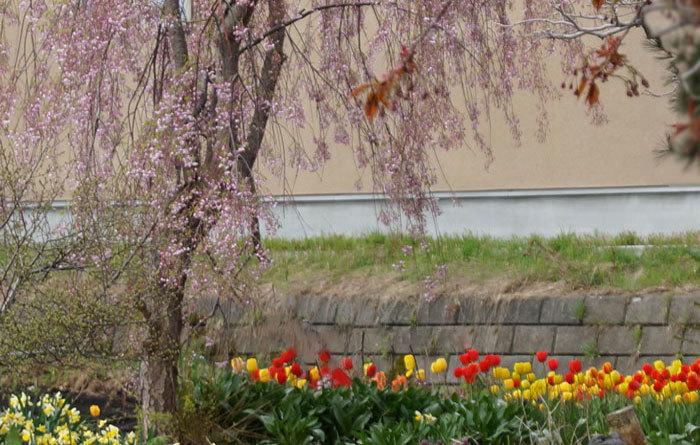 枝垂れ桜とチュウリップ_d0162994_08363886.jpg