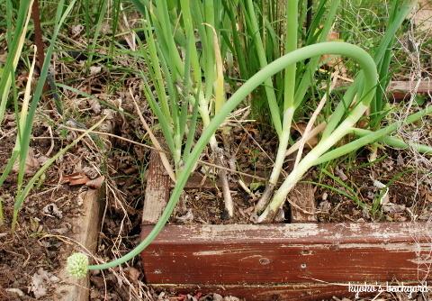 ワイルドローズ・プロジェクト。裏庭の花壇と菜園の様子(5月中旬)_b0253205_04562805.jpg