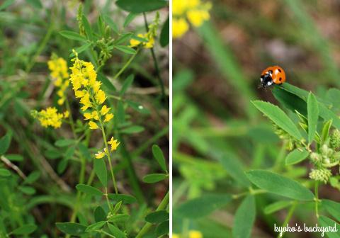 ワイルドローズ・プロジェクト。裏庭の花壇と菜園の様子(5月中旬)_b0253205_05004972.jpg