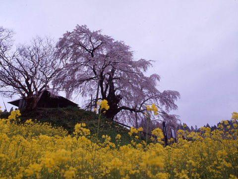 桜を巡りて・・北へ_a0072620_14530630.jpg