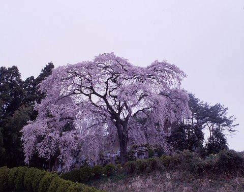 桜を巡りて・・北へ_a0072620_14532985.jpg