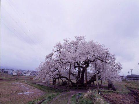 桜を巡りて・・北へ_a0072620_14535736.jpg