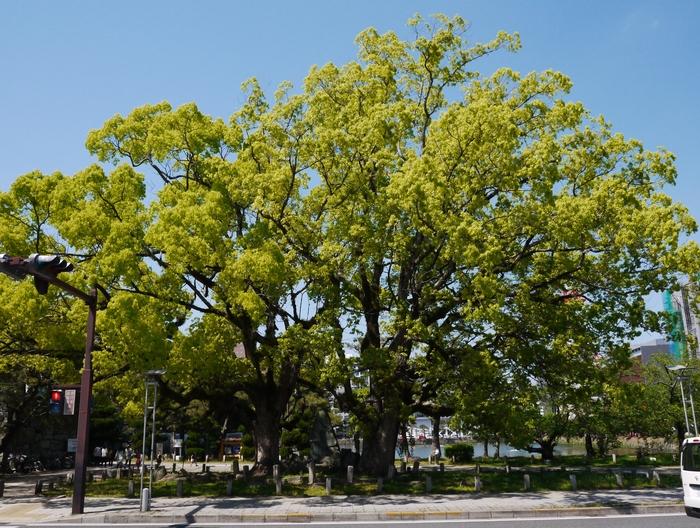 大日本帝国憲法(明治憲法)発布30年記念樹_b0093754_2033589.jpg
