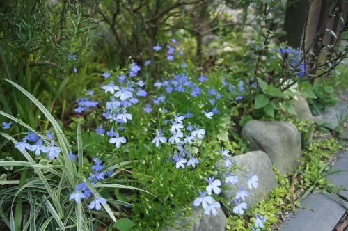 ロベリアなど小花を_e0181373_21141049.jpg