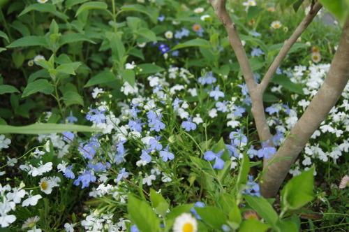 ロベリアなど小花を_e0181373_21141931.jpg