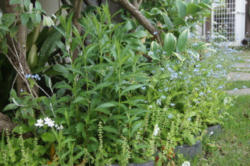 ロベリアなど小花を_e0181373_21155099.jpg