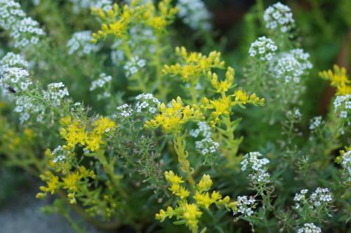 ロベリアなど小花を_e0181373_21155674.jpg
