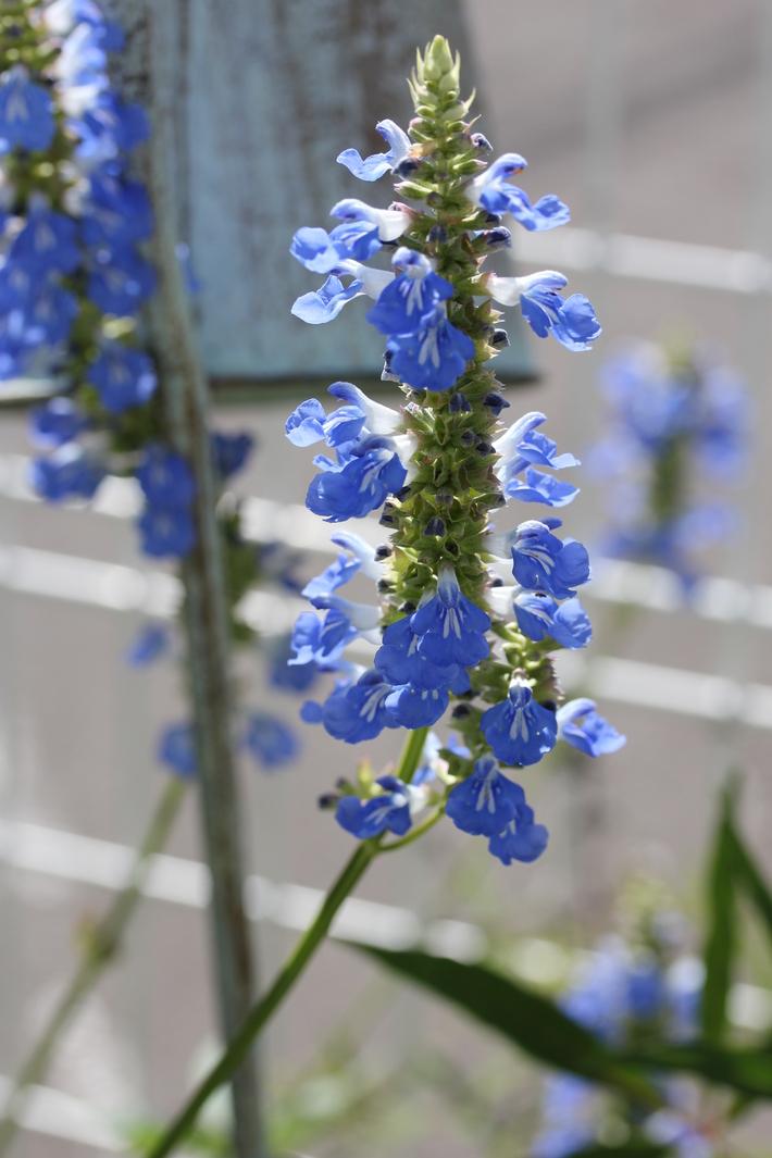 夏用の寄せ植え向きのお花①_a0292194_20433999.jpg